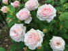 Rose Planting Effective Tips for Beginners